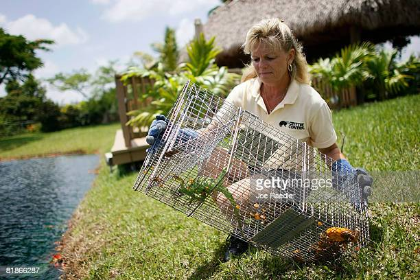 Critter Control specialist Tari Dachton removes an Iguana trapped in the back yard of Gloria Johnson July 8 2008 in Sunshine Ranches Florida The...
