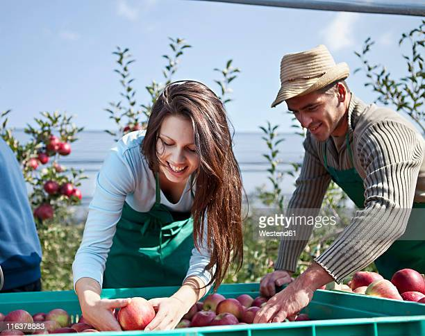 Croatia, Baranja, Man and woman picking apples in apple orchard