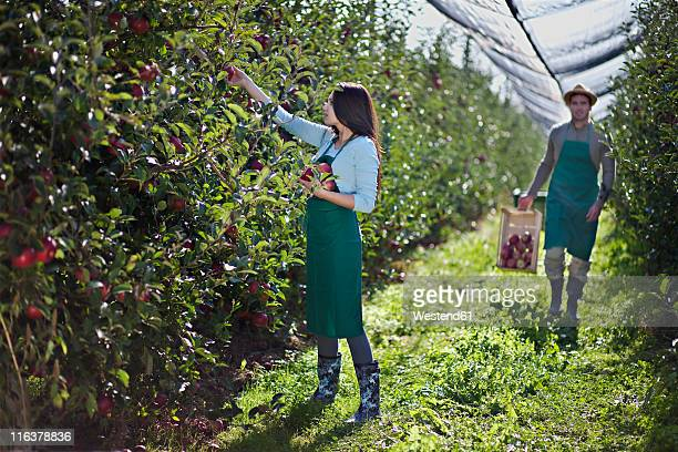 Croatia, Baranja, Young woman picking apple, man with crate of apples in background