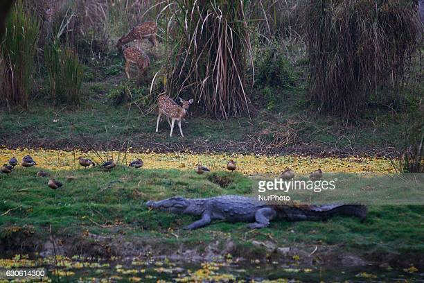 A crocodile and group of deer are seen during the Jungle safari at Chitwan National Park in CHitwan some 154 kilometeer south from Kathmandu Nepal...