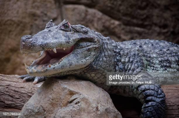 crocodile, barcelona zoo - crocodile photos et images de collection
