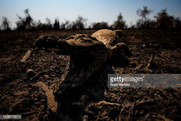 Crocodile carcass is seen in Pantanal on September 24, 2020 in Pocone, Brazil. Pantanal is located mostly within the Brazilian state of Mato Grosso...