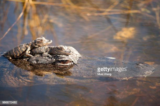 a crocodile carrying her baby in the everglades, florida. - everglades national park stock pictures, royalty-free photos & images