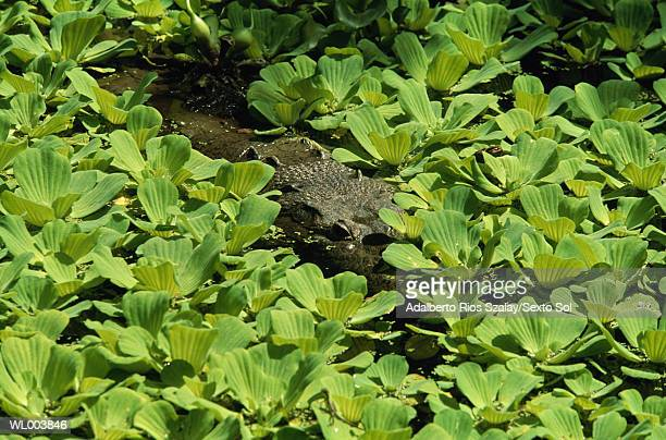 Crocodile, Chiapas