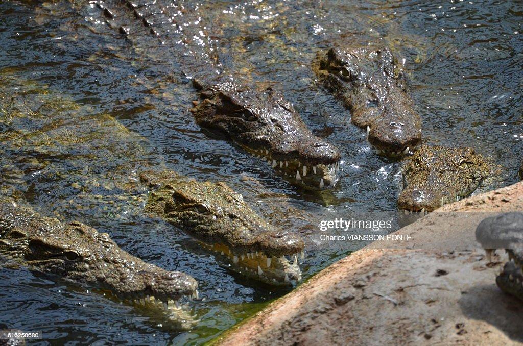Crocodile du Nil : Foto de stock
