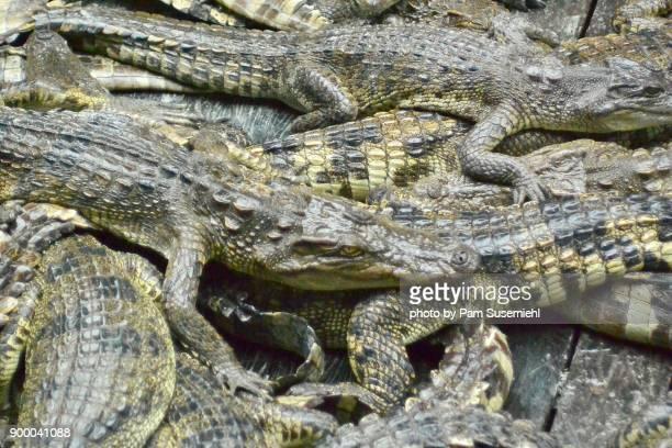 Crocodile Farm, Tonle Sap Lake, Cambodia