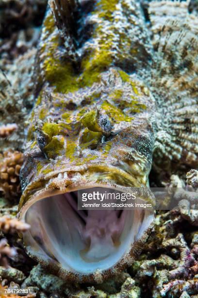 Crocodile flathead opens mouth in Raja Ampat, Indonesia.