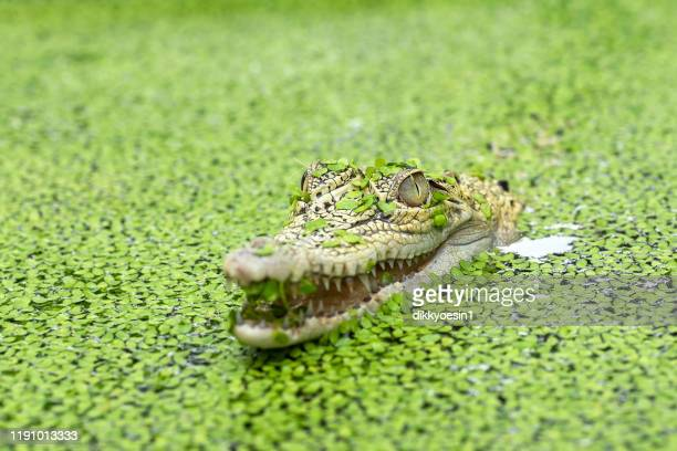 crocodile in a river filled with duckweed, indonesia - 待ち伏せ ストックフォトと画像