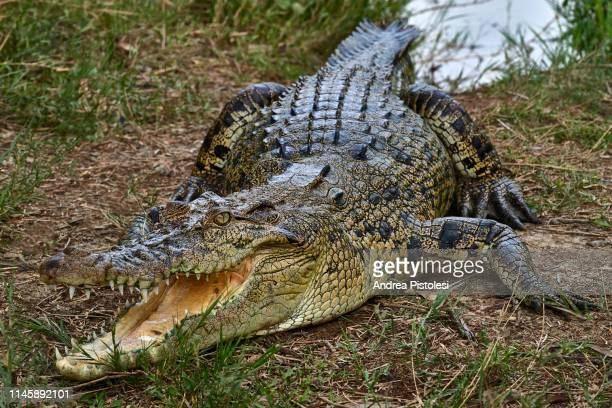 crocodile in the sundarbans, bangladesh - animal teeth stock pictures, royalty-free photos & images