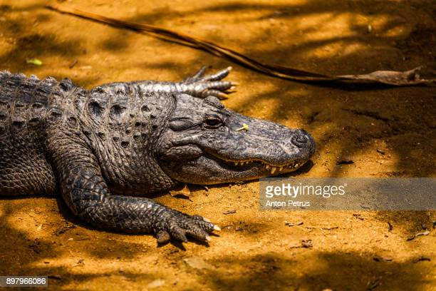 Crocodile in Vanille Reserve park. Mauritius
