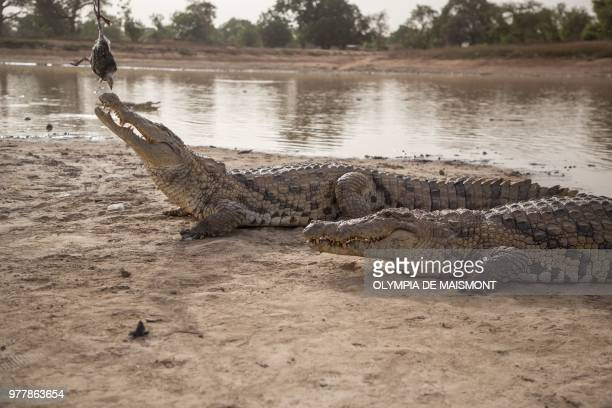 A crocodile is fed with a dead chicken attached to a pole on May 19 2018 at a pond in Bazoule in Burkina Faso a village which happily shares its...