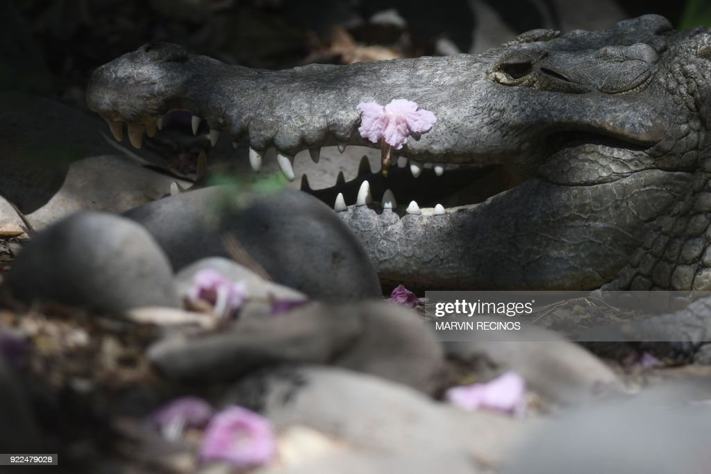 A crocodile is pictured at the National Zoo in San Salvador on February 21, 2018. /