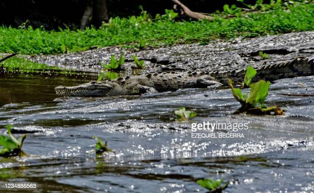 Crocodile is seen in the Tempisque River, in Guanacaste, Costa Rica, on August 26, 2021. - Costa Rica has recovered in the period from January to...