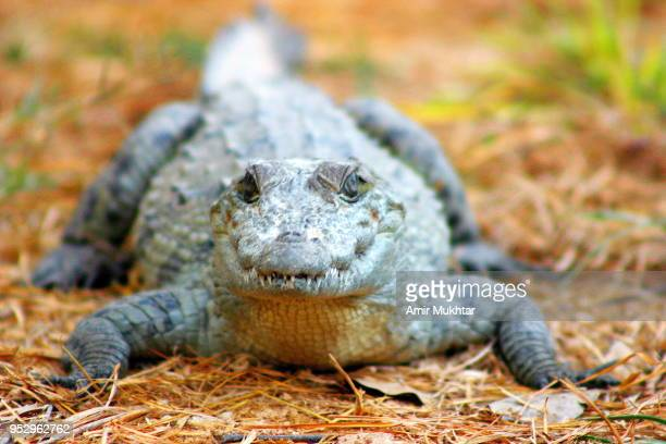 crocodile looking at the camera - amir mukhtar stock photos and pictures
