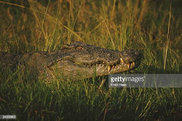 A crocodile lurks amid the rushes along the Nile at Murchison falls Creation Book