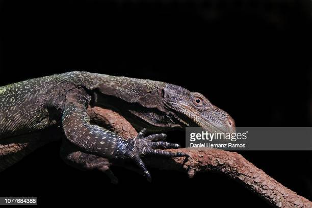 crocodile monitor in a tree branch with black background - extinct stock pictures, royalty-free photos & images