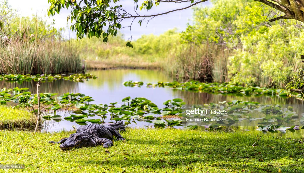 Crocodile on lakeshore, Everglades, Florida, USA : Stock Photo