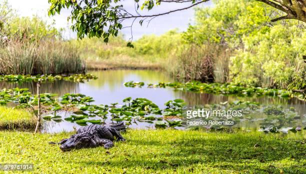 crocodile on lakeshore, everglades, florida, usa - everglades national park stock pictures, royalty-free photos & images