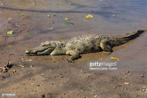 crocodile on riverbank - carnivora stock pictures, royalty-free photos & images