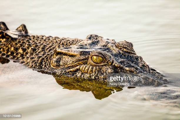 crocodile - crocodile stock pictures, royalty-free photos & images