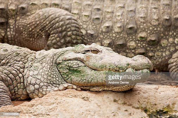 crocodile - andrew dernie - fotografias e filmes do acervo