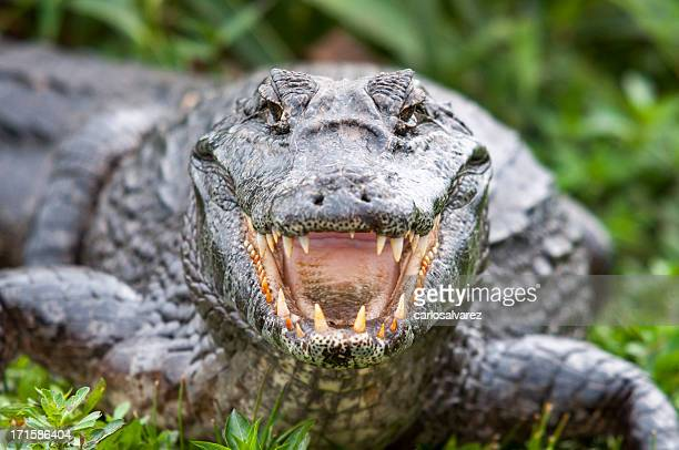 crocodile - fang stock pictures, royalty-free photos & images