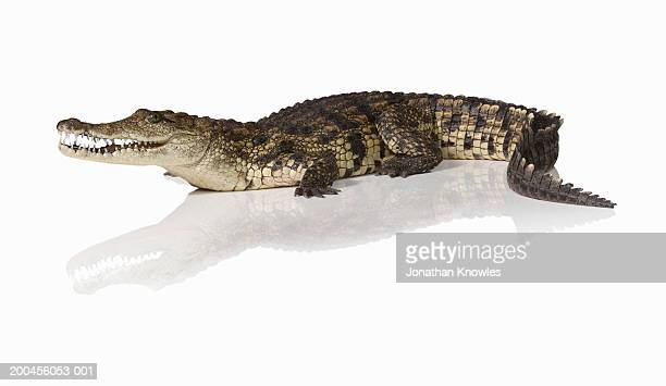 Crocodile (Crocodylus)