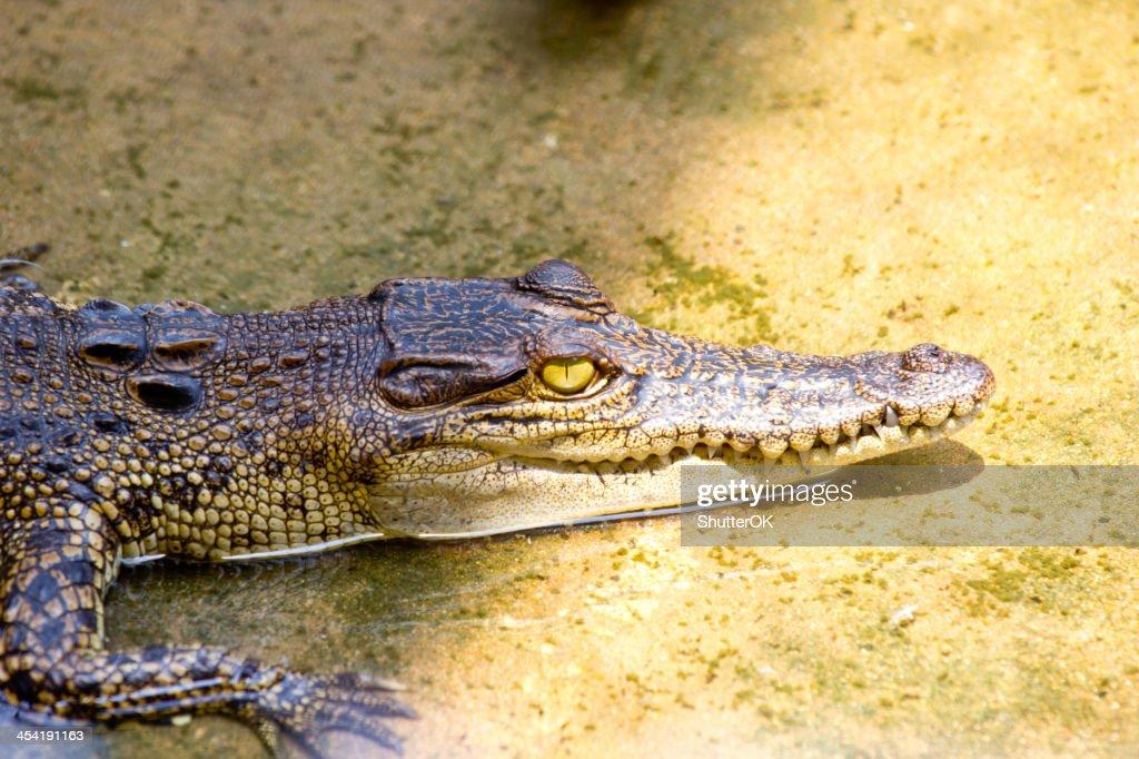 Krokodilleder : Stock-Foto