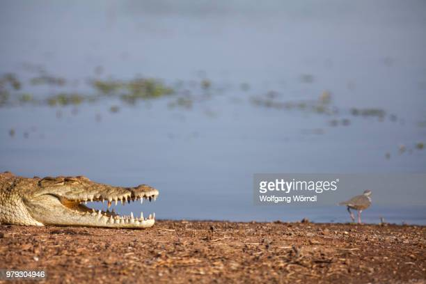 crocodile - wolfgang wörndl stock pictures, royalty-free photos & images