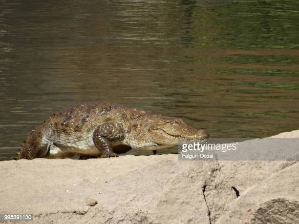 crocodile - falguni stock pictures, royalty-free photos & images