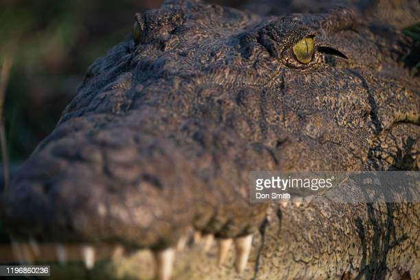 crocodile stare - don smith stock pictures, royalty-free photos & images