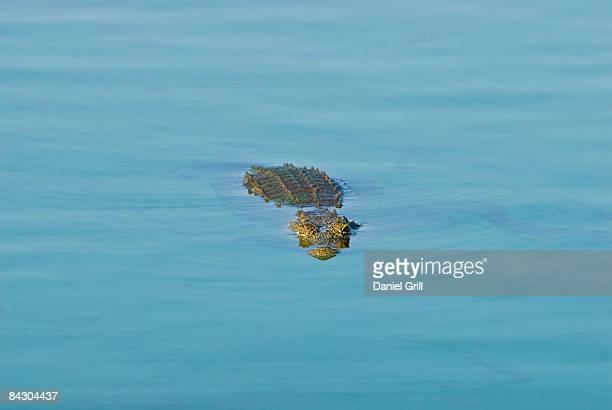 Crocodile swimming in river