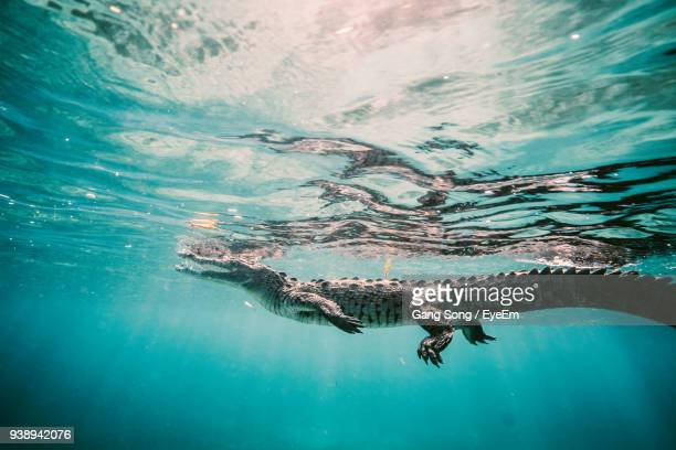 Crocodile Swimming In Sea