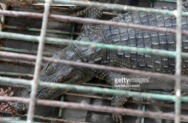 A crocodile that roamed the sewerage system of the town of Beit Lahia in the northern Gaza Strip is seen in a cage after it was captured by police on...