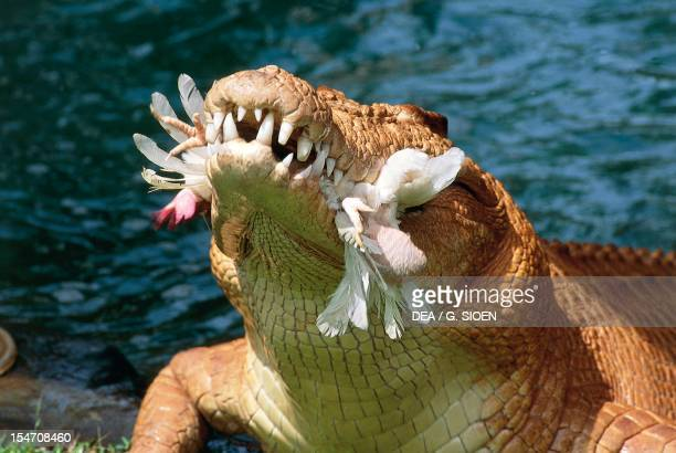 Crocodile with a chicken in its jaws Crocodylus Park Darwin Australia