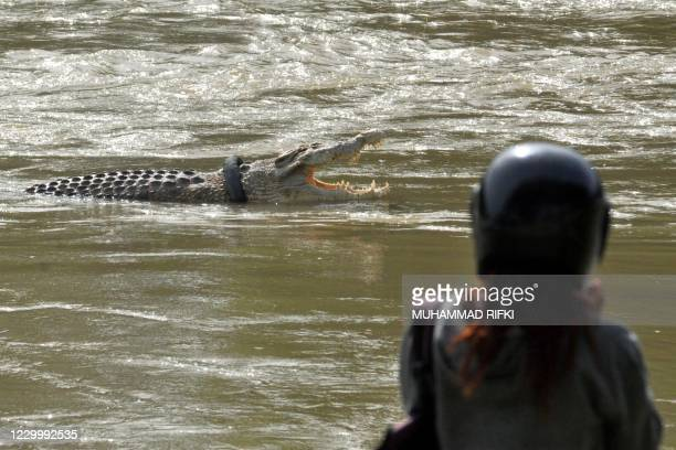 Crocodile with a motorbike tyre around its neck is seen in a river in Palu, Central Sulawesi province on December 7 months after Australian...