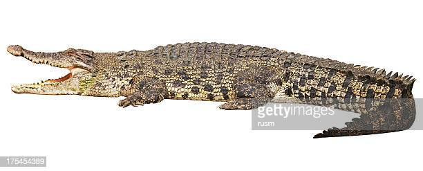 Crocodile with clipping path on white background