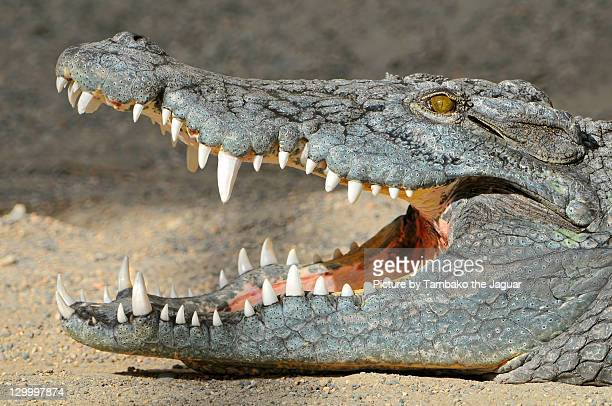 crocodile with open mouth - crocodile stock pictures, royalty-free photos & images