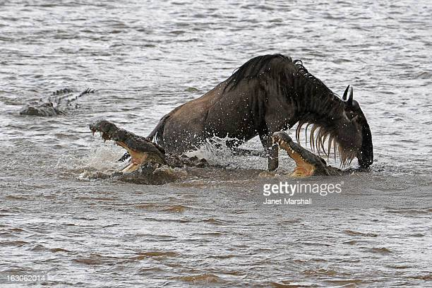 Crocodiles get easy pickings during the Great Migration when tens of thousands of wildebeest make river crossings in the Maasai Mara in Kenya. This...