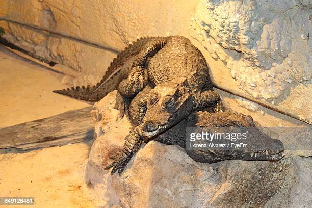Crocodiles Mating In Cave