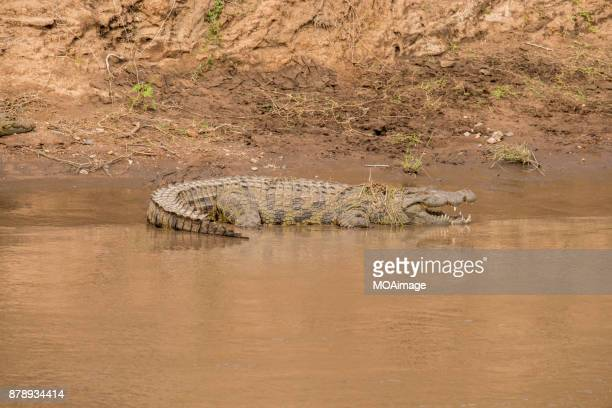 A crocodiles resting