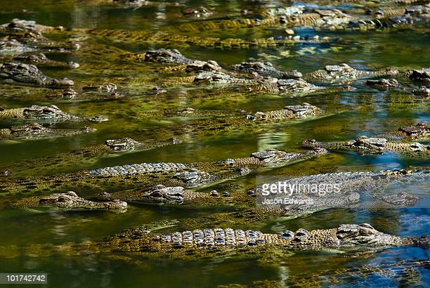 A float of Saltwater Crocodiles sun basking on the waters surface.