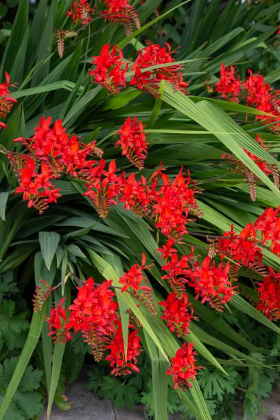 Crocosmia Lucifer flowering in late July