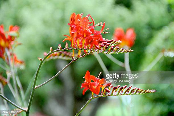 crocosmia 'lucifer' flowers - tubular bells stock pictures, royalty-free photos & images