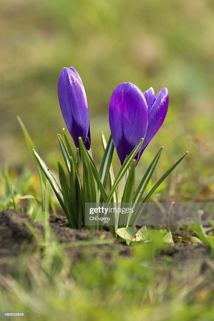 Crocus blooming : Stock Photo