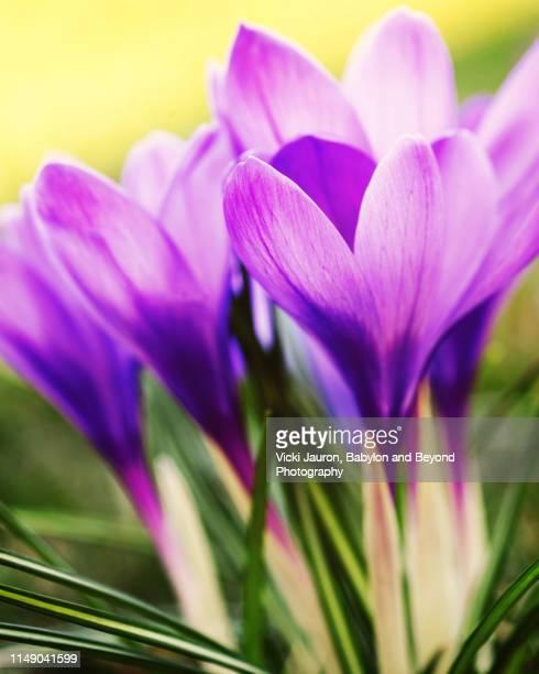 crocus blossoms reaching for the sky in babylon, long island - blumenzwiebel stock-fotos und bilder