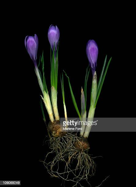 Crocus buds, bulbs and root system