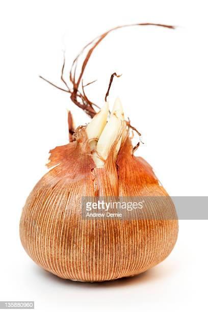 Crocus Bulb