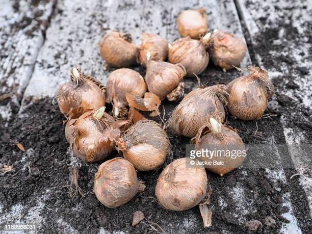 crocus corms ready to plant - blumenzwiebel stock-fotos und bilder