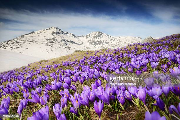 Crocus field in front of a winter mountain